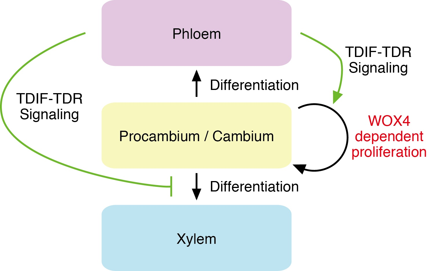 importance of xylem and phloem tissues essay Previous ib exam essay questions: unit 10 draw a plan diagram to show the arrangement of tissues in the stem of a cambium shown between xylem and phloem 2.